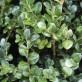 Buxus-sempervirens-Rotundif