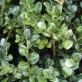 Buxus-sempervirens-Rotundif